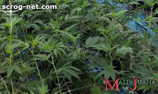 mallajuana providing support to cannabis crops